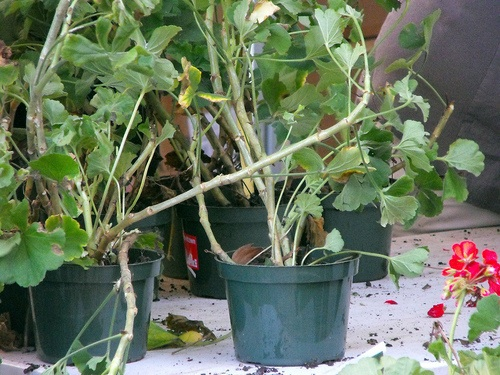 Adopt a geranium