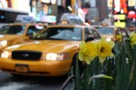 A Ford Crown Victoria taxi idles while waiting for passengers near a display of flowers  April 10 in New York's Times Square. Mayor Michael Bloomberg paired with two members of New York's Congressional delegation last month to announce the Green Taxis Act, which would require more efficient taxis to operate in the city. Photo by Nick DeSantis.